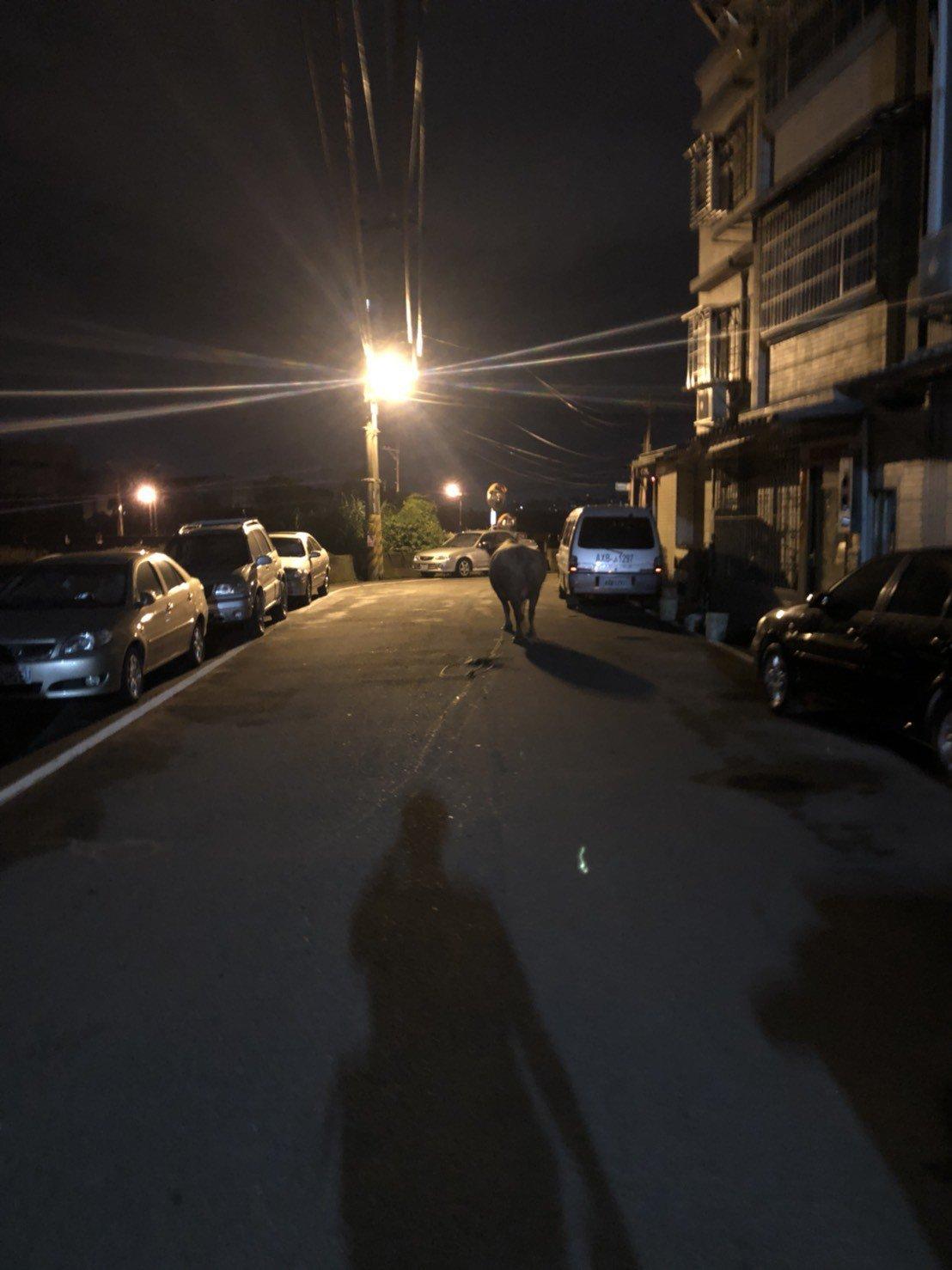 桃園市八德警方前日半夜接獲民眾報案,稱「一頭牛在撞我家門」,警方立即循著腳印找到...