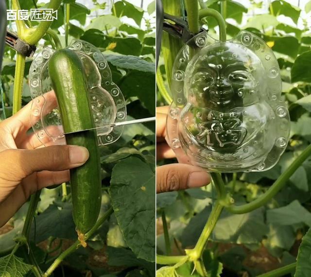 1.剛長出的黃瓜裁減成適當大小,放進模具繼續生長,慢慢就長成一個個創意十足的造型...