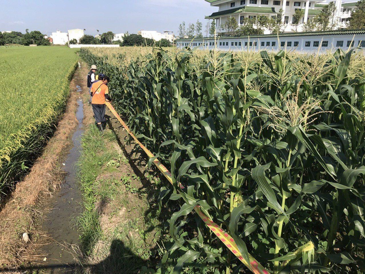 和美鎮1處玉米田確認有秋行軍蟲的幼蟲,縣府農業處人員拉起封鎖線示警。記者何烱榮/...