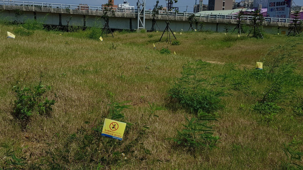 新竹市南寮左岸草地插了許多紅火蟻防治區警示旗幟,凸顯紅火蟻蔓延情形嚴重。記者黃瑞...
