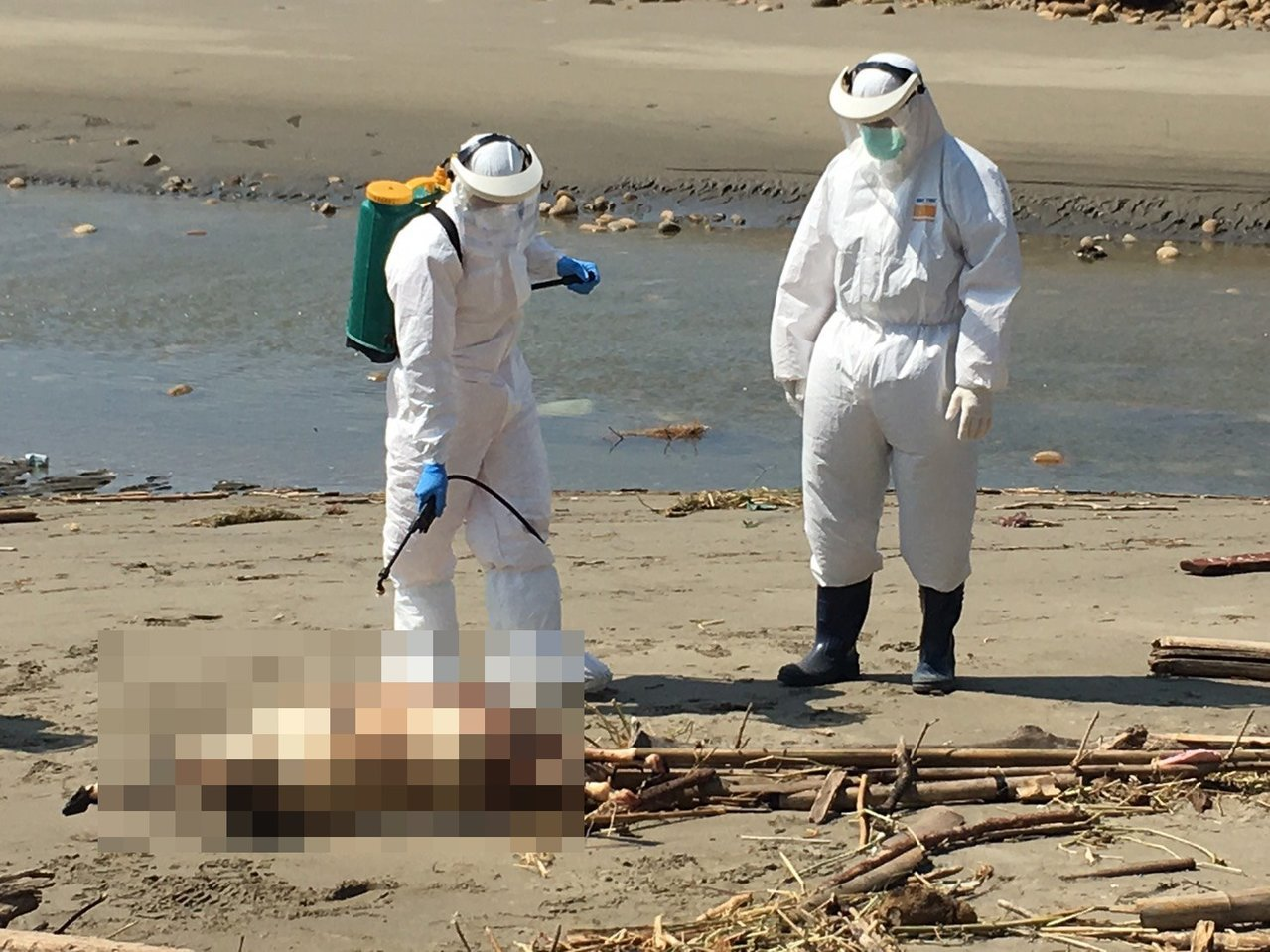 苗栗縣通霄鎮白沙屯海岸中午發現一具動物屍體,海巡人員全副武裝到場處理,確認是一隻...