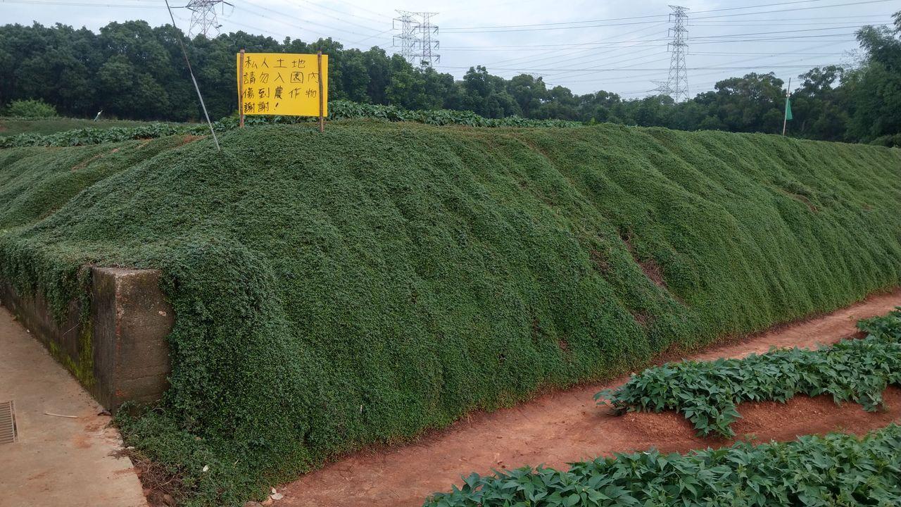 台中市大肚山上的地瓜園「綠瀑」網美照爆紅,民眾模仿踩踏拍照,部分植被枯死,地瓜田...