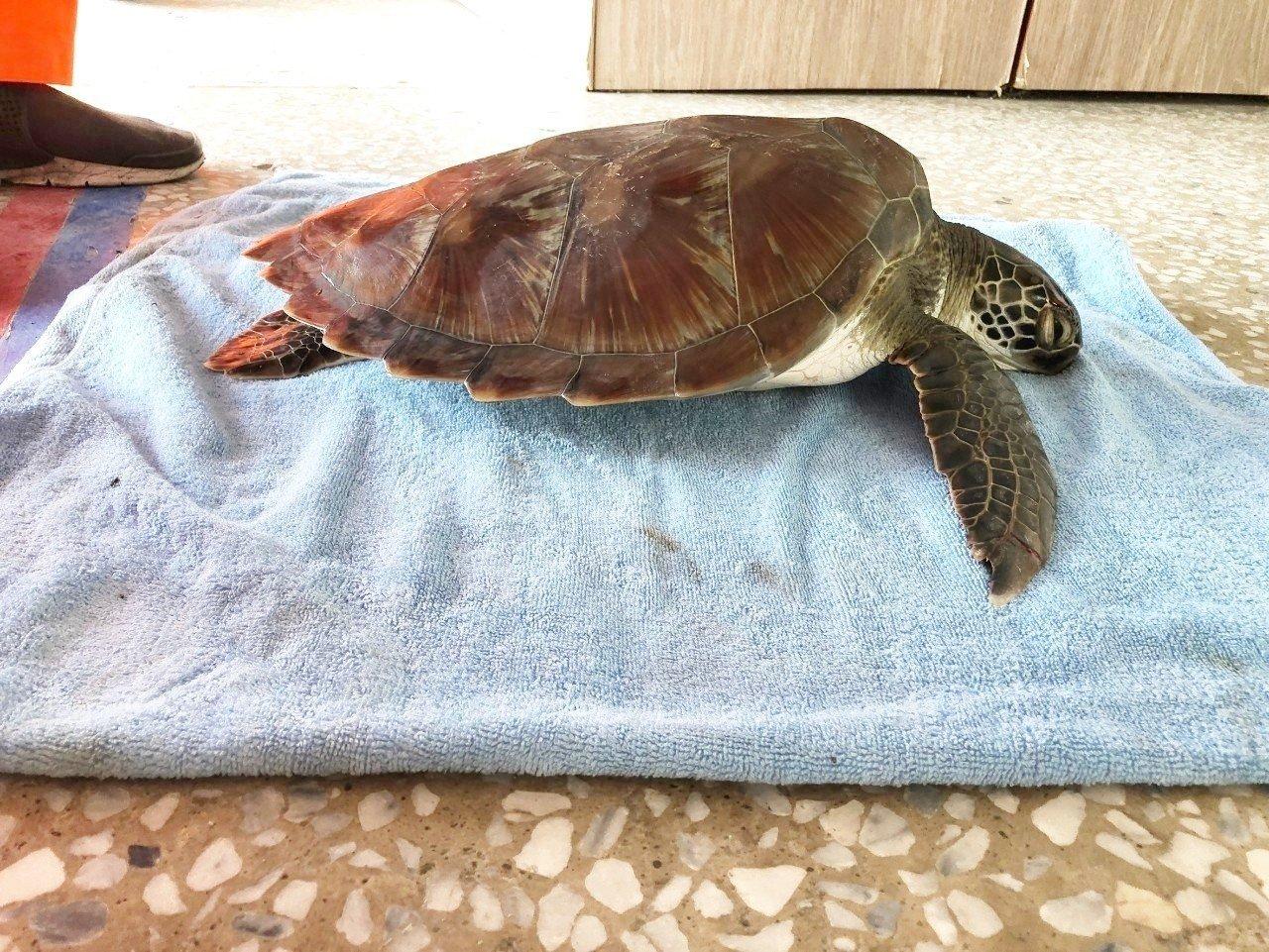 在東河誤闖漁網的綠蠵龜,可能因受困在漁網中有段時間,活動力變很差。記者羅紹平/翻...