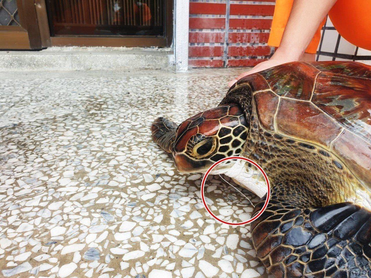 在香蘭沙灘被發現的綠蠵龜因嘴上還留有魚鉤及釣魚線,很可能是釣客誤釣上岸,再向安檢...