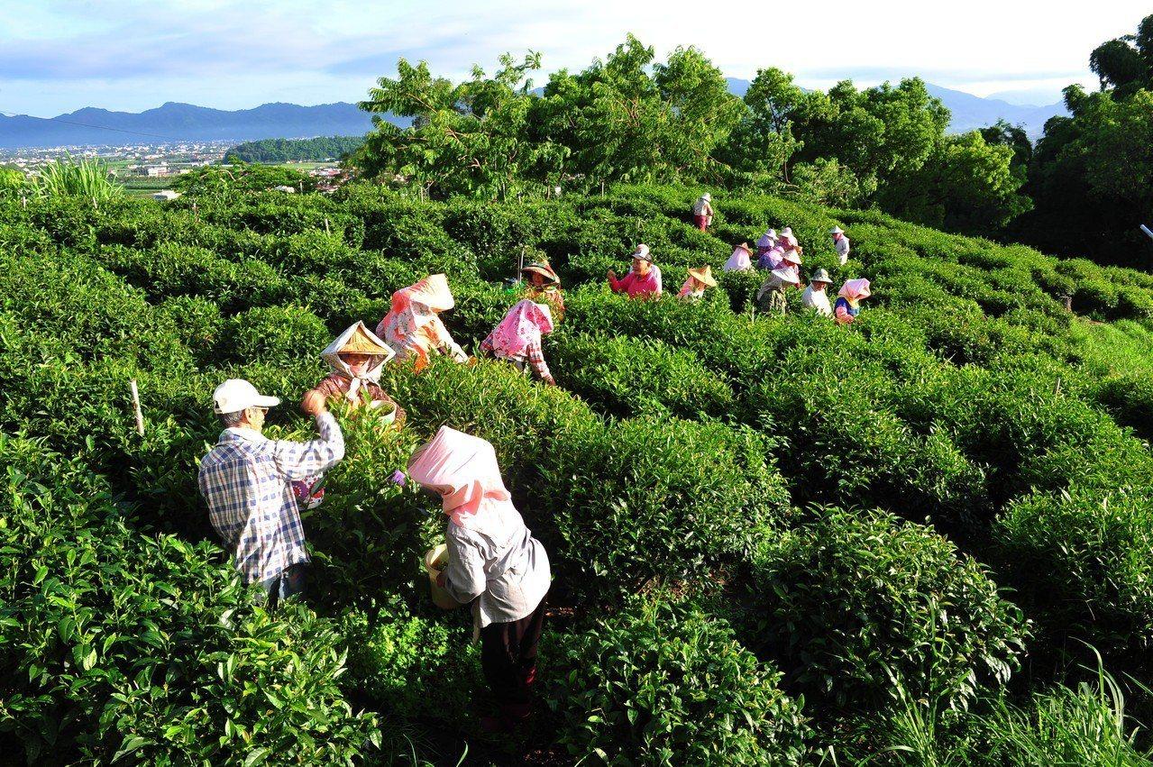 神明喝的山茶超搶手 千歲採茶團是幕後功臣