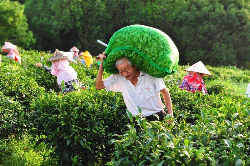 朝天五穀宮的採茶班是一群上年紀志工,全靠他們長年不辭辛勞才有好茶可喝。圖/攝影達人鍾北鳳提供