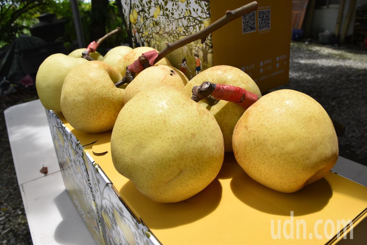 花蓮高接梨因為種在平地,因氣候關係是最早上市的高接梨。記者王思慧/攝影
