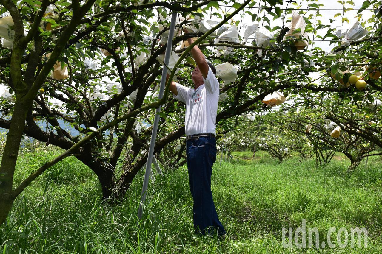 農友吳玉双希望有年輕人一起加入種高接梨。記者王思慧/攝影