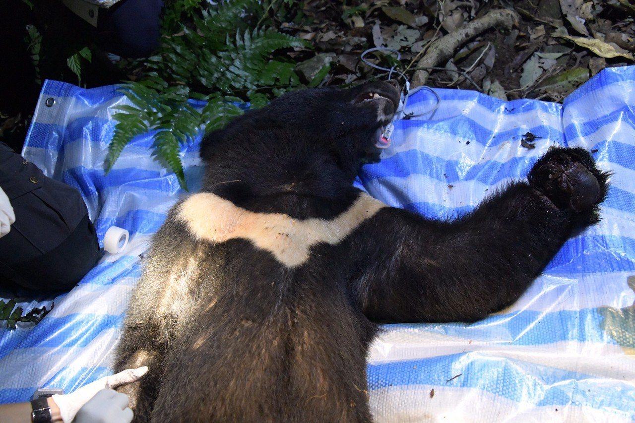 這隻台灣黑熊被麻醉後,可見左手臂傷勢嚴重。圖/花蓮林管處提供