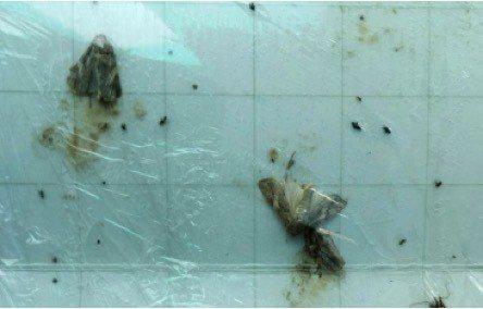 苗栗大湖發現的秋行軍蟲城蟲。圖/防檢局提供