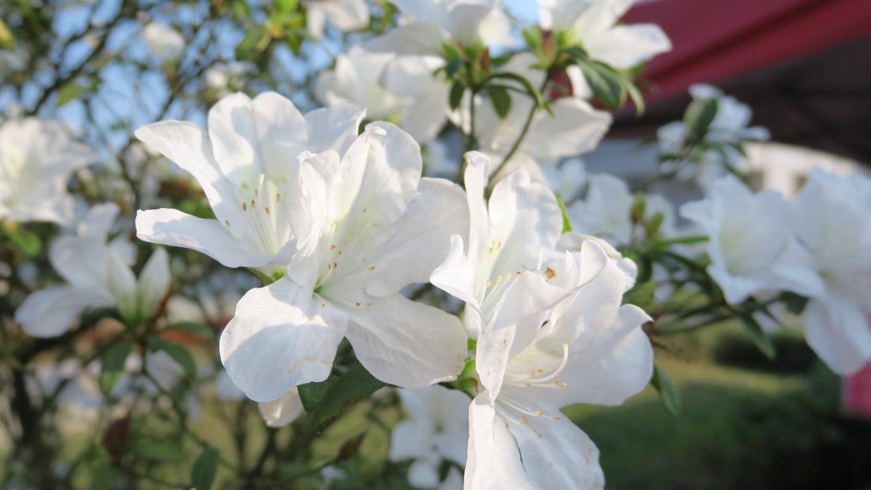 金山種植的平戶杜鵑。