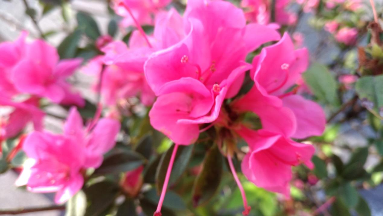 金山種植的杜鵑花,鮮豔飽滿。