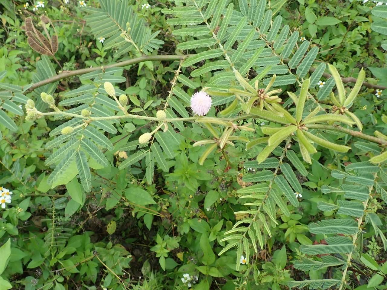 「刺軸含羞木」又稱美洲含羞木,不僅剝奪其他植物生長空間,繁殖傳播迅速。圖/台東林...