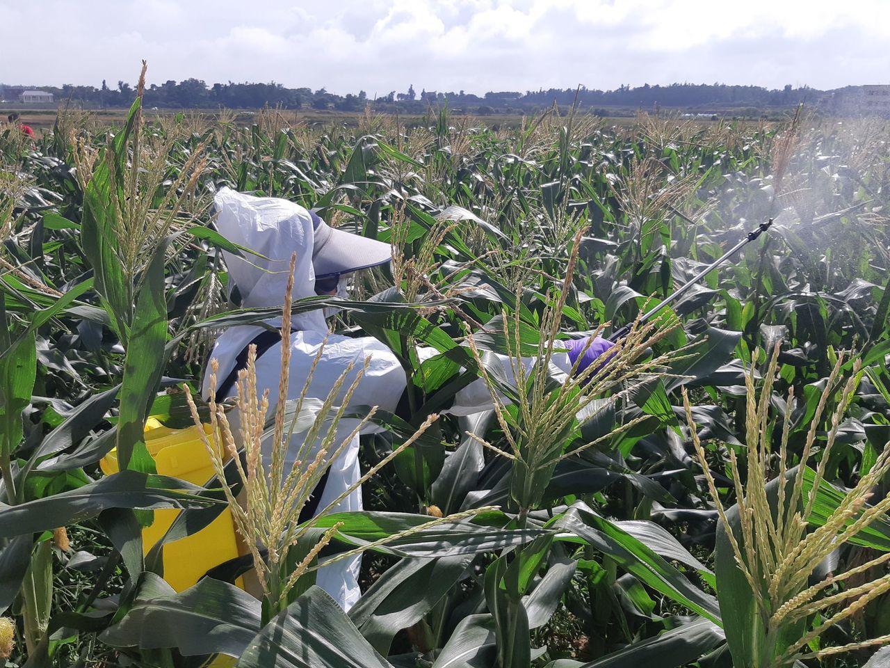 縣防疫所今天深入后水頭的玉米田進行噴藥,希望能控制秋行軍蟲的疫情。記者蔡家蓁/攝...
