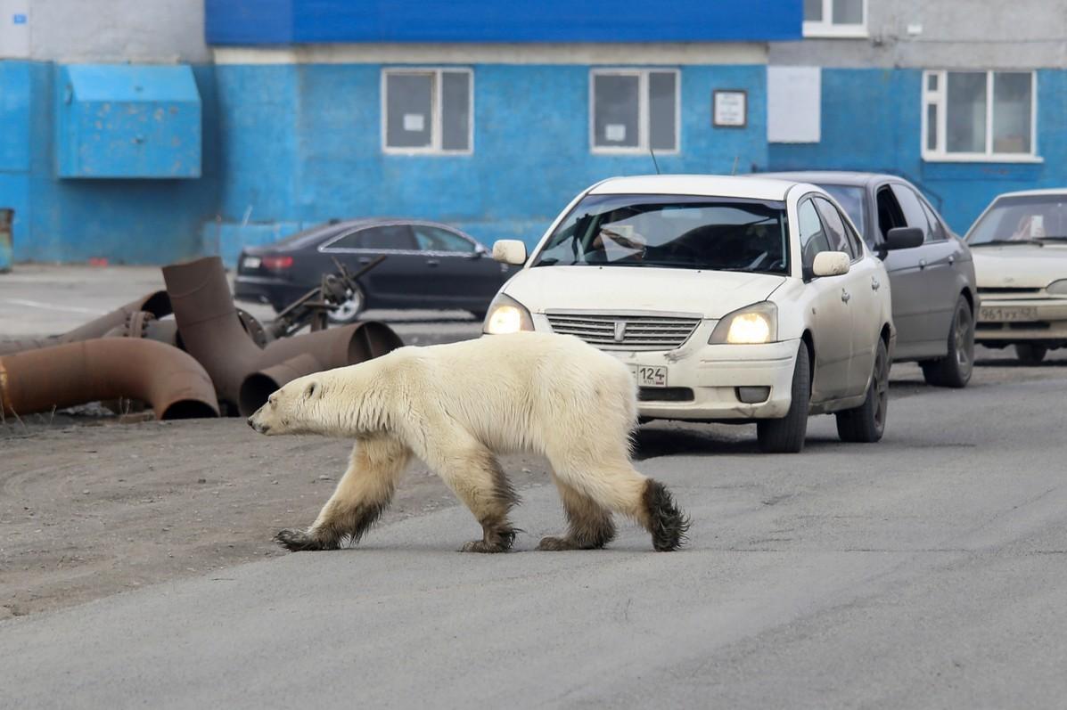 飢餓北極熊現身俄國北方工業城 40多年來僅見