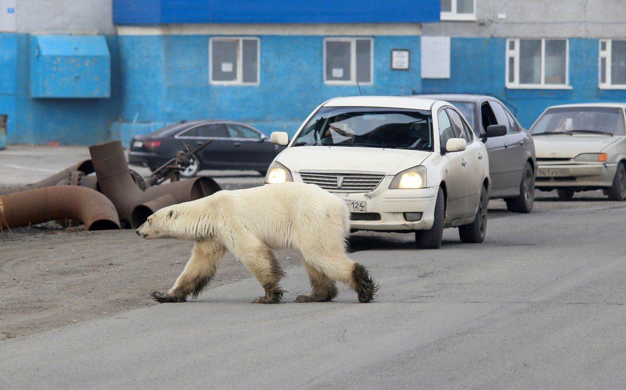 一隻飢餓的北極熊出現在俄國諾里爾斯克市郊區馬路上。 路透社
