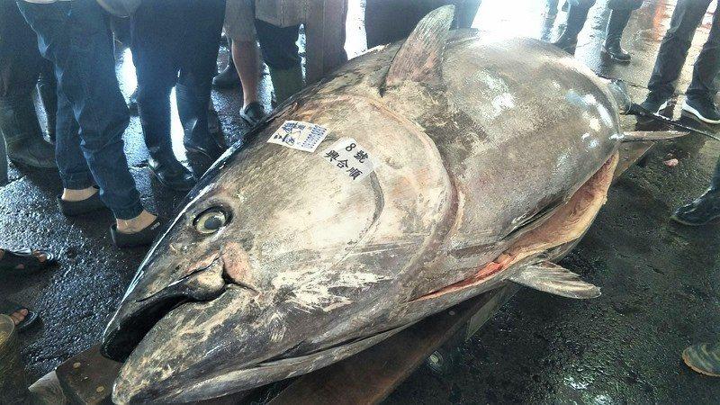 屏東東港魚市場黑鮪魚拍賣今天重量又刷新達410公斤,以每公斤650元賣出,由琉球...