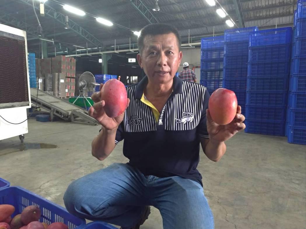 愛文芒果外銷市場供不應求,有9成銷往大陸。記者陳俞安/拍攝