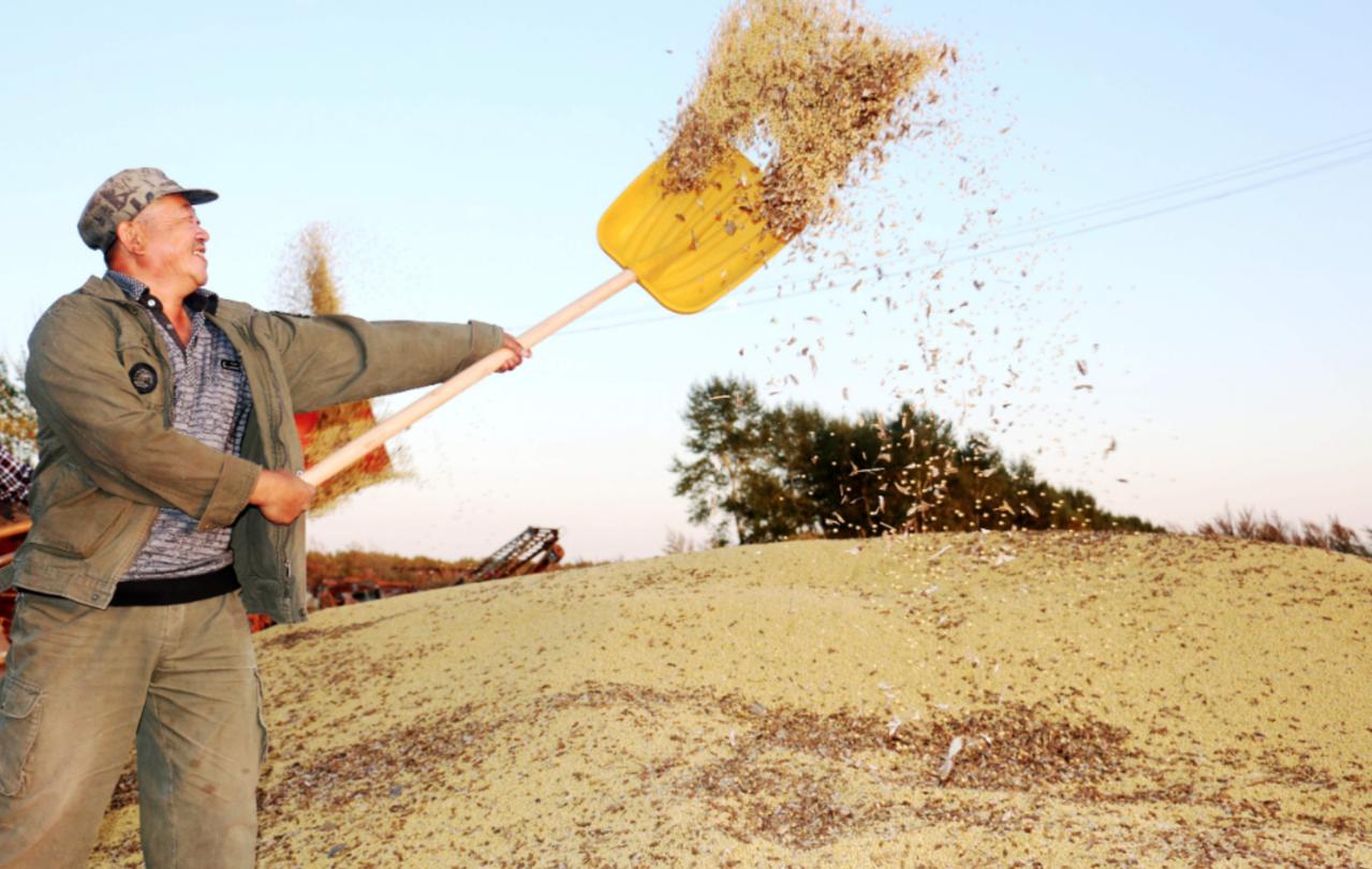 中國大陸長年來招聘「科技特派員」協助基層農村發展。圖為黑龍江龍鎮農場早前採收大豆...
