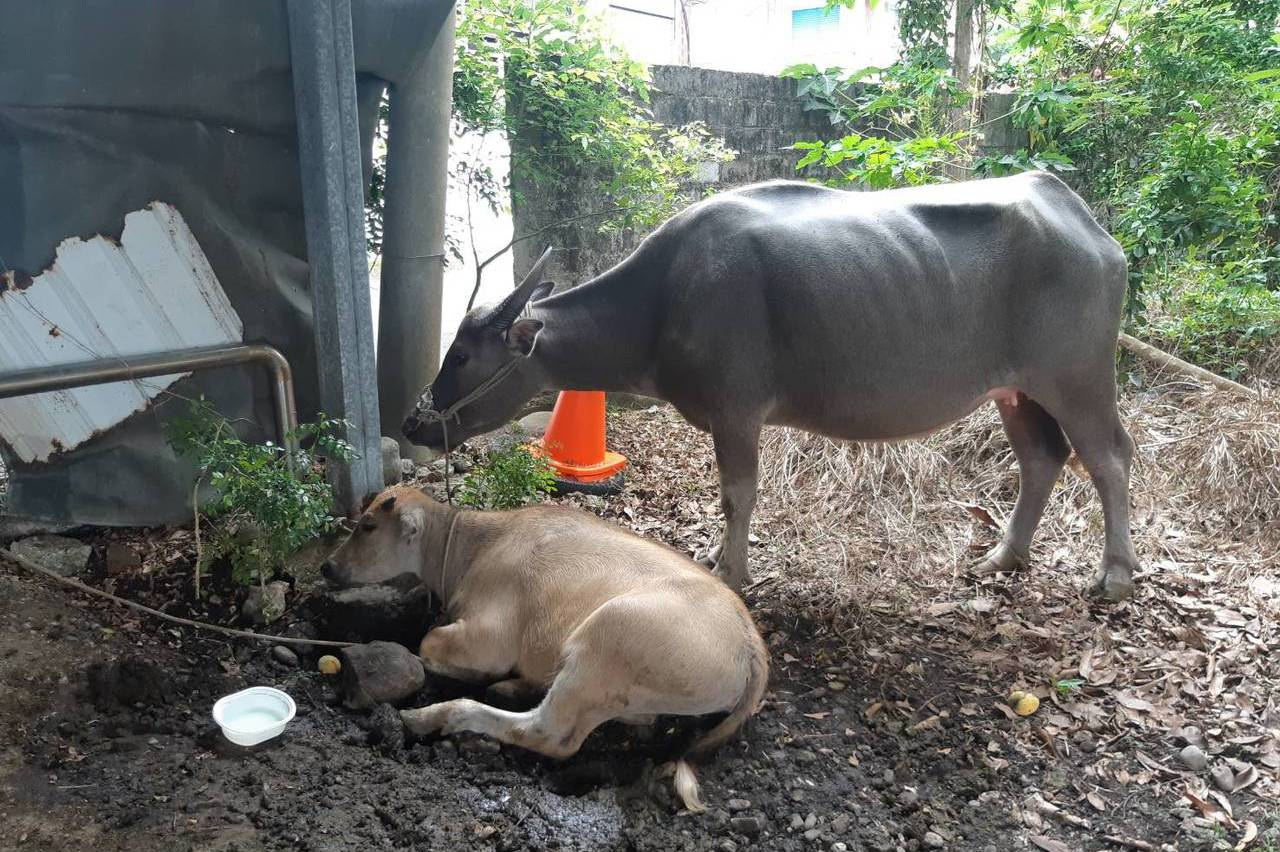 台東婦人騎車撞牛不治 縣府承諾牛隻需耳號管理