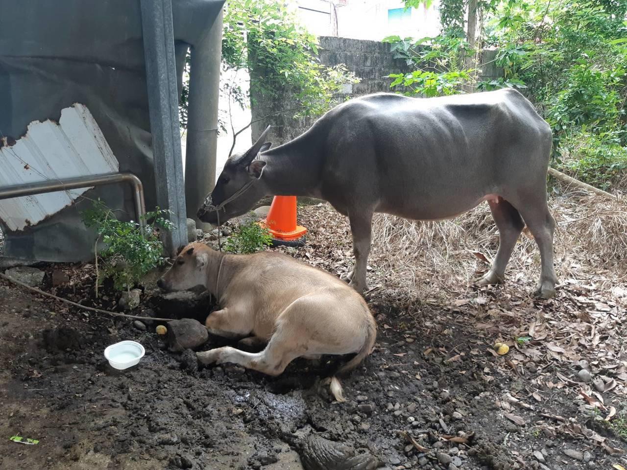 台東縣政府農業處承諾要求養牛戶對飼養牛隻剪耳或夾耳號便於管理。記者尤聰光/翻攝