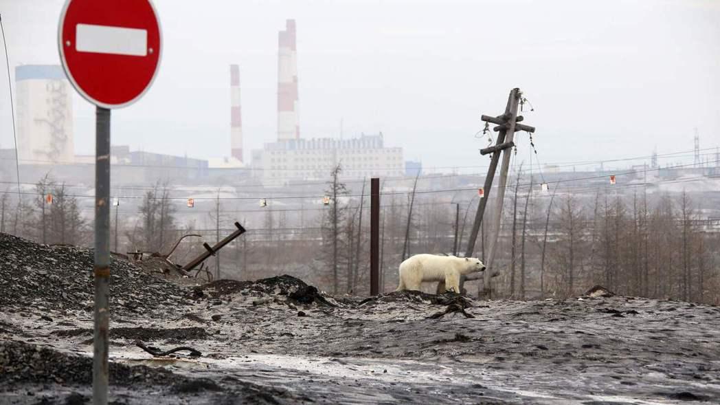 北極熊現身俄國城市,最後餓倒路旁。 法新社