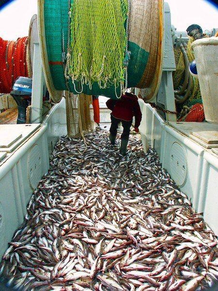 由於很多在美國捕到的魚會被送往中國進行加工,川普對中國課徵關稅反而會衝擊美國漁業...