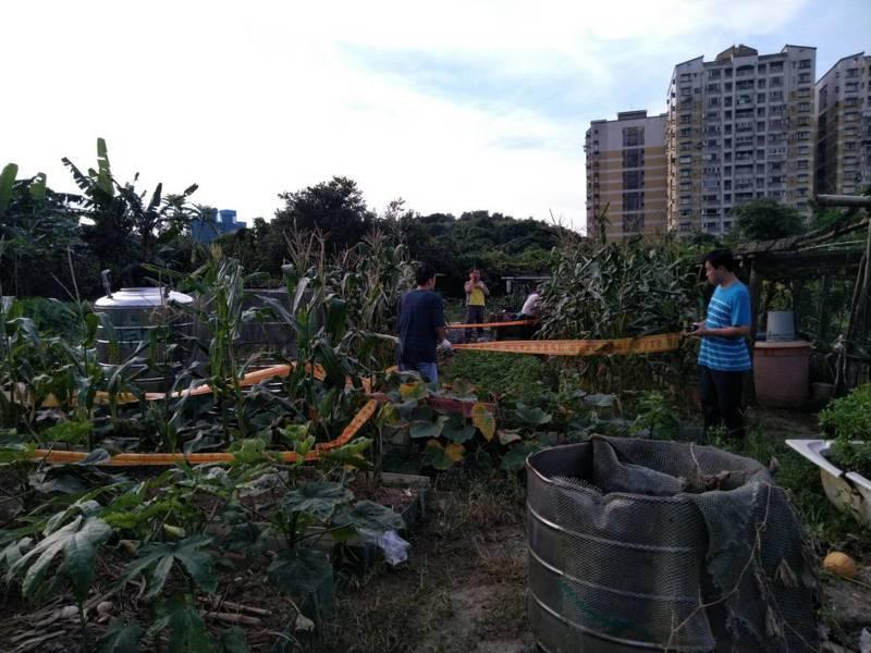 基市府6月19日接獲第一起案例通報,位於中正區小型菜園的玉米株經確認為秋行軍蟲。圖/基隆市政府提供
