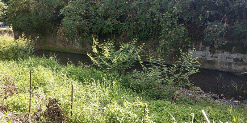 「世界百大入侵物種」刺軸含羞木,在屏東恆春半島廢耕農地、荒地及溪流,有點狀蔓延的趨勢,會演替成無生產力且具刺的灌木叢林。圖/屏東縣政府提供