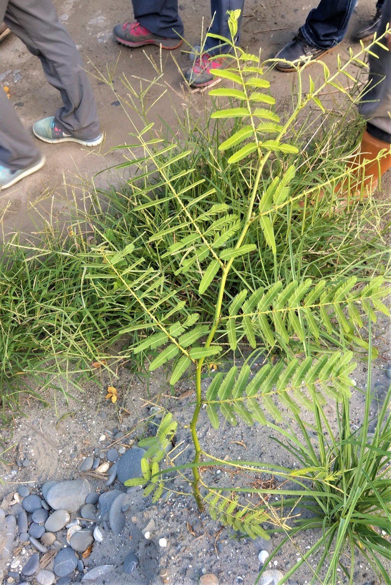 「世界百大入侵物種」刺軸含羞木,在屏東恆春半島廢耕農地、荒地及溪流,有點狀蔓延的...