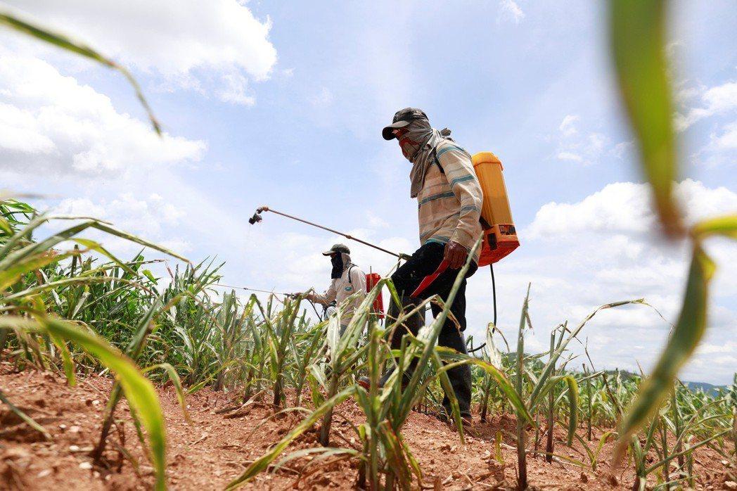 圖為泰國中部省分呵叻府帕沖區農民,正對遭秋行軍蟲破壞的玉米田噴灑殺蟲劑畫面。(路...