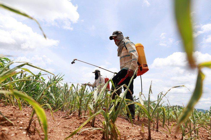 圖為泰國中部省分呵叻府帕沖區農民,正對遭秋行軍蟲破壞的玉米田噴灑殺蟲劑畫面。(路透)