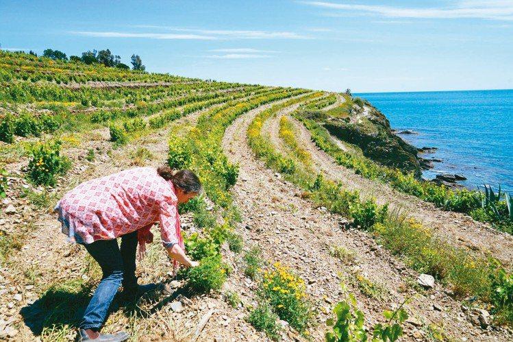 西法邊界的地中海岸,法國最知名的加烈甜酒產地:Banyuls。圖/林裕森 ※...