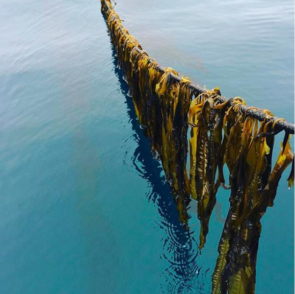 養殖昆布依附在繩索上生長。圖取自Kodiak昆布公司Instagram(@kod...