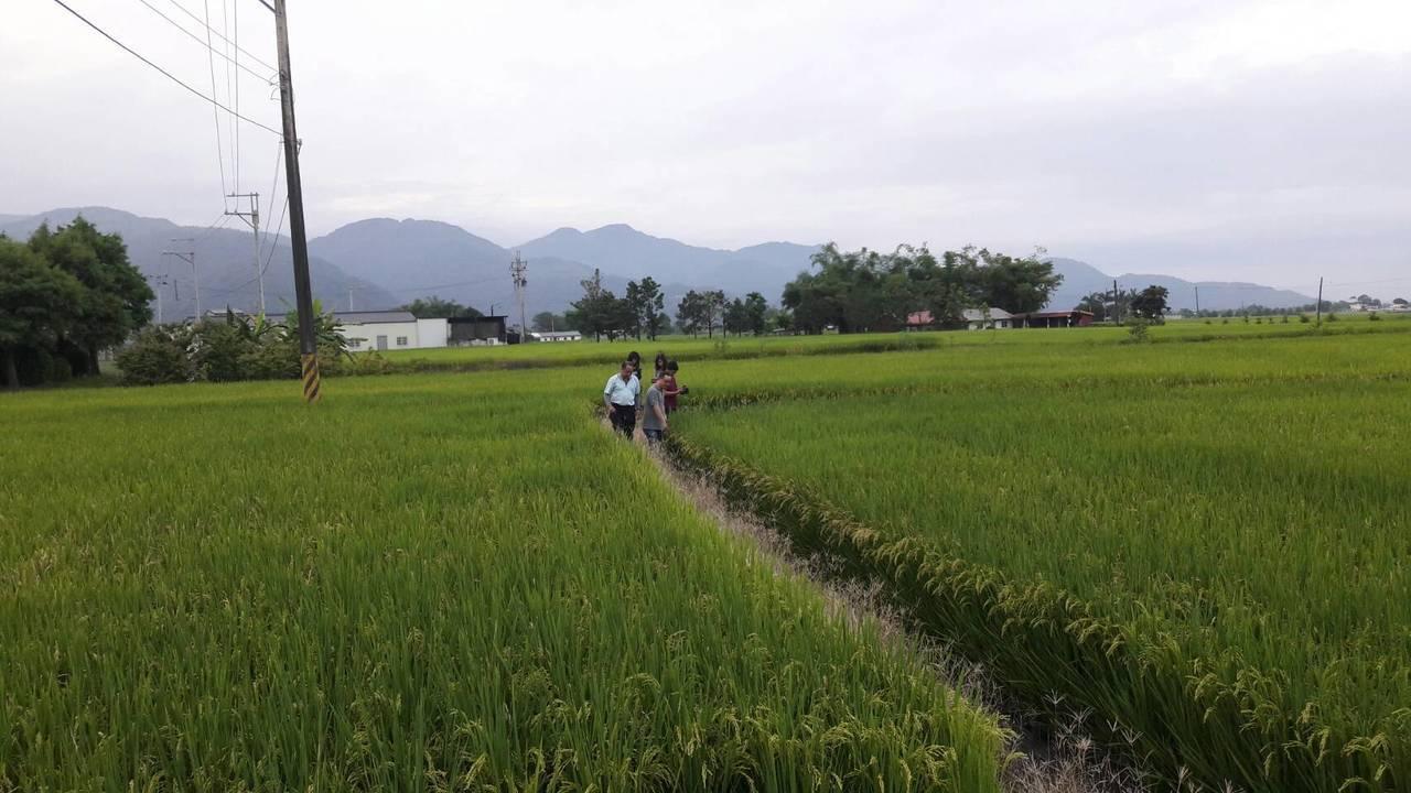 宜蘭縣政府接獲反映,在三星鄉等地,有部分田區的稻子看似長得好,但結出的穀粒卻是空...