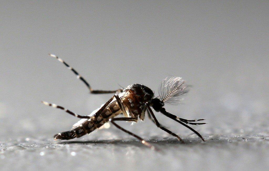 登革熱病媒蚊埃及斑蚊。 圖/路透社