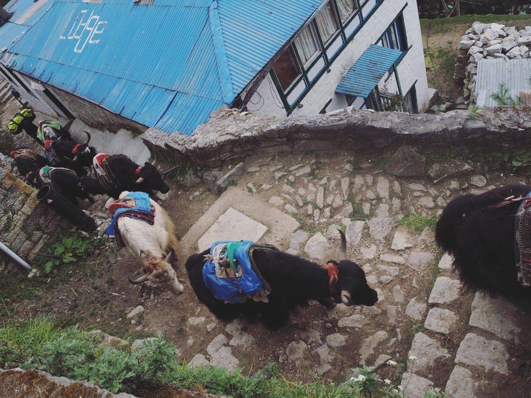 因爲走道窄小,牦牛們只能排著隊跟著走,動物列車的名字因此而來。