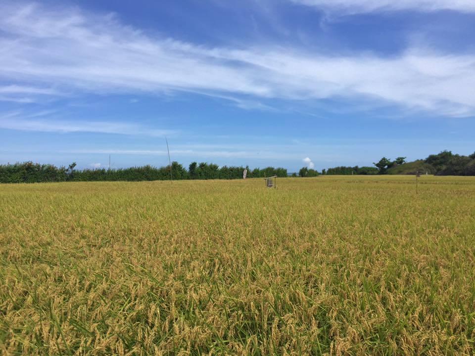 花蓮193縣道旁可見金黃稻田,景色優美。圖/報系資料照
