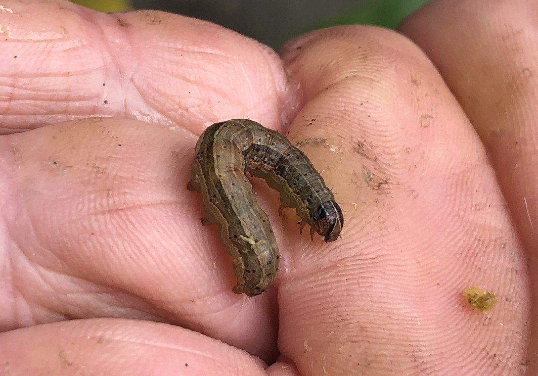 秋行軍蟲成蟲後就交尾產卵,幼蟲很像常見的斜紋夜盜蛾。聯合報系資料照片