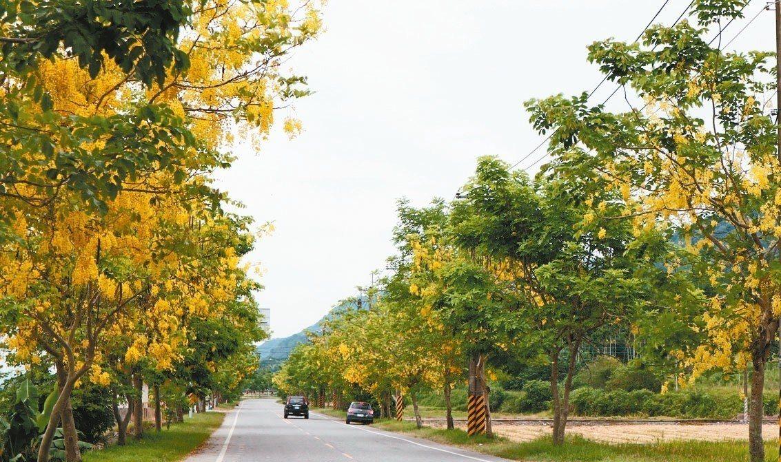 花蓮193縣道有金黃色阿勃勒夾道,吸引喜愛自然景色的民眾一遊縱谷最美道路。 圖/...