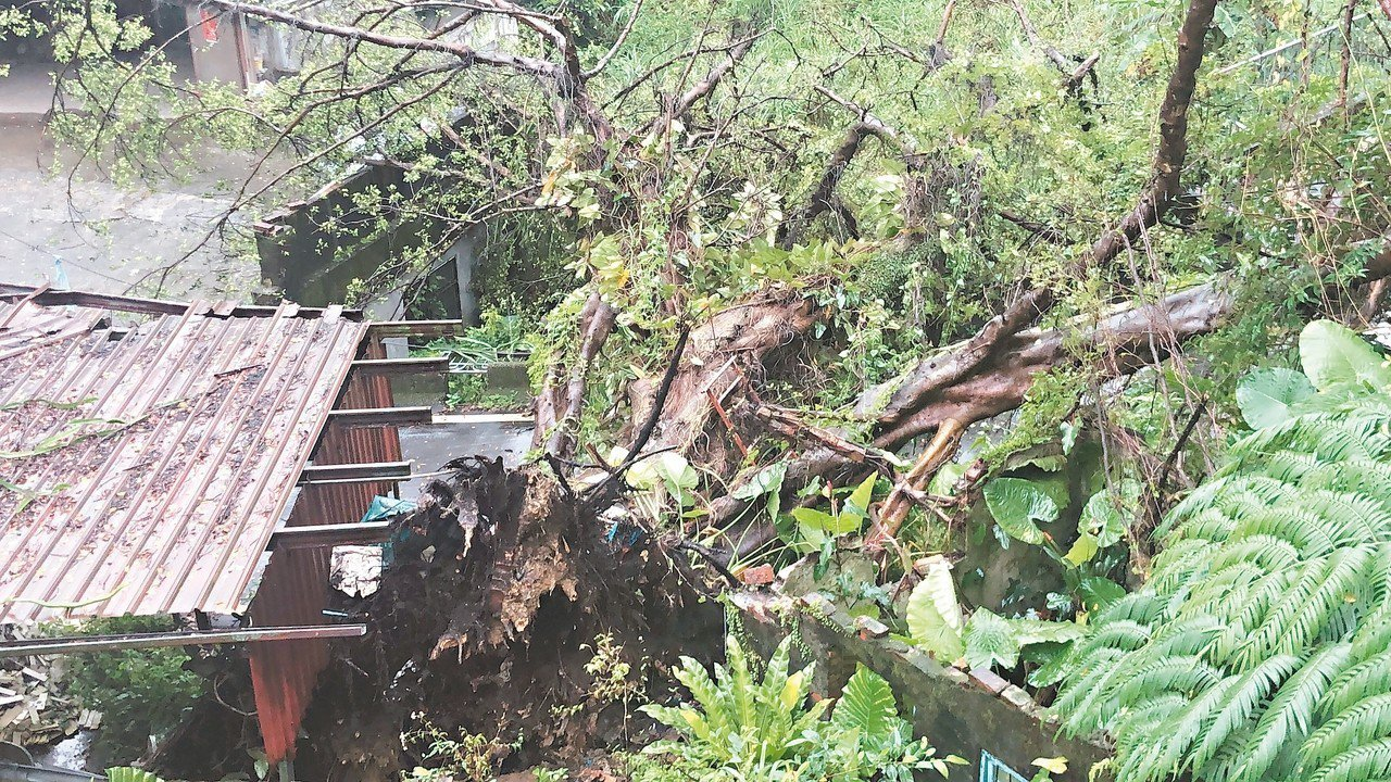 基隆市東光路一棵老樹連根拔起,倒在路上,8戶居民出入被擋住,向外求救。 記者吳淑...