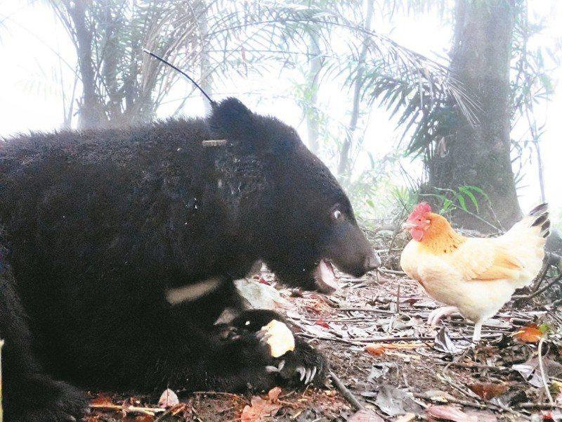 南安小熊妹仔與熊麻雞。  文/黃美秀 攝影/台灣黑熊保育協會提供