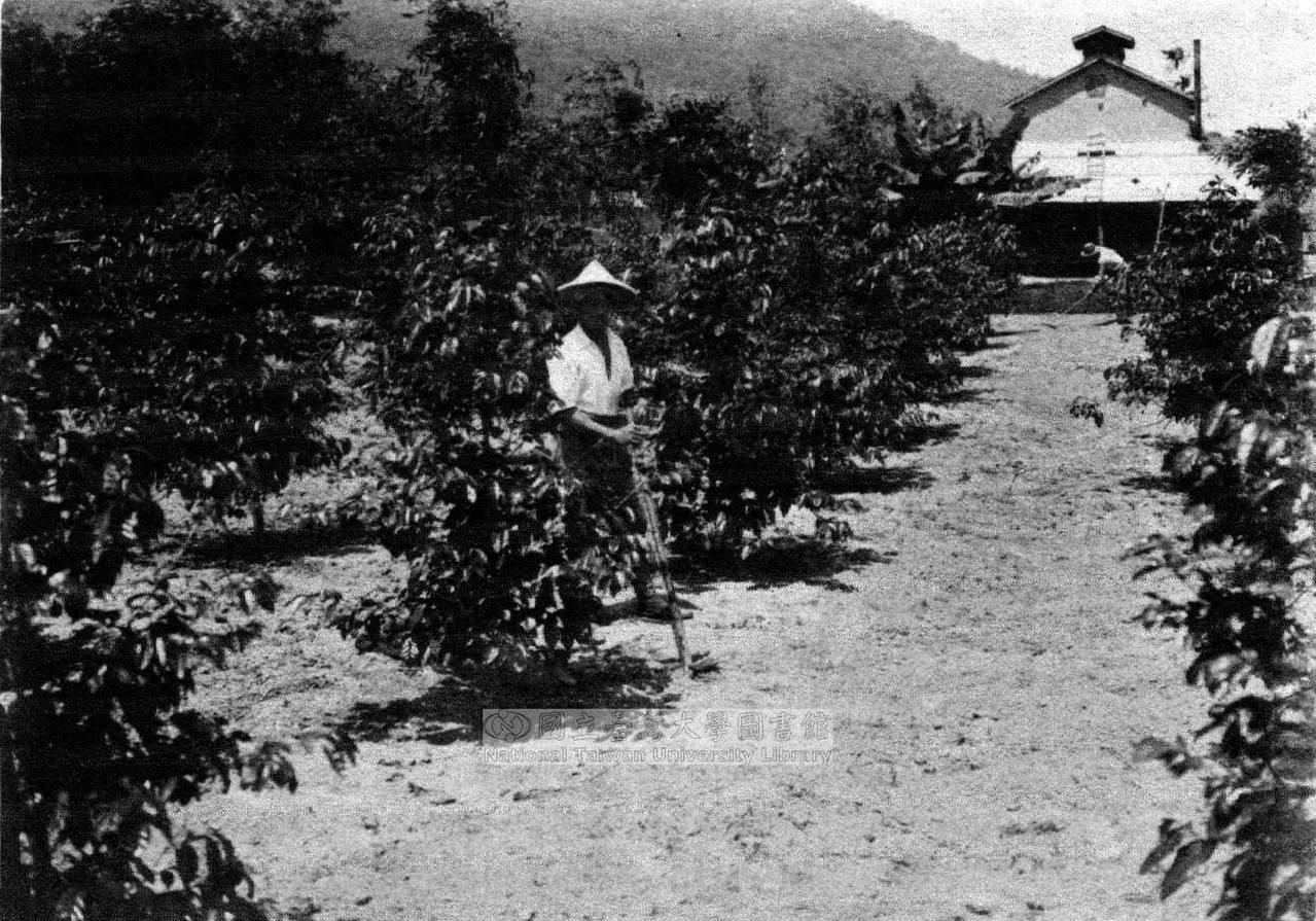 日本時代在豐田拍攝的咖啡樹照片。 圖/臺灣大學圖書館