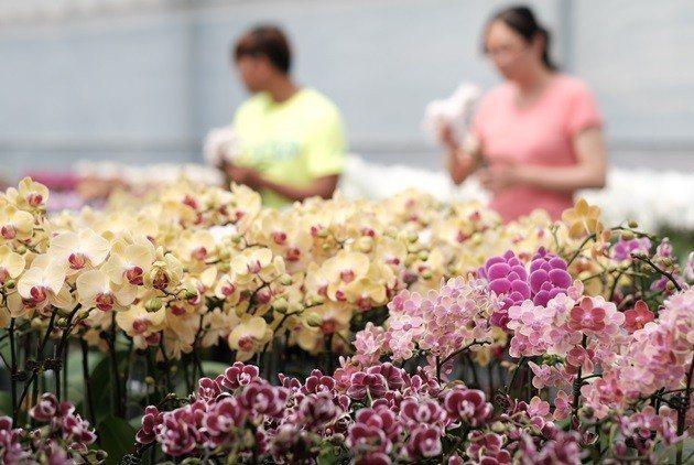 台灣蘭花產業獨到之處在於高度產業分工,特別有一群人熱愛育種。 (劉國泰攝)