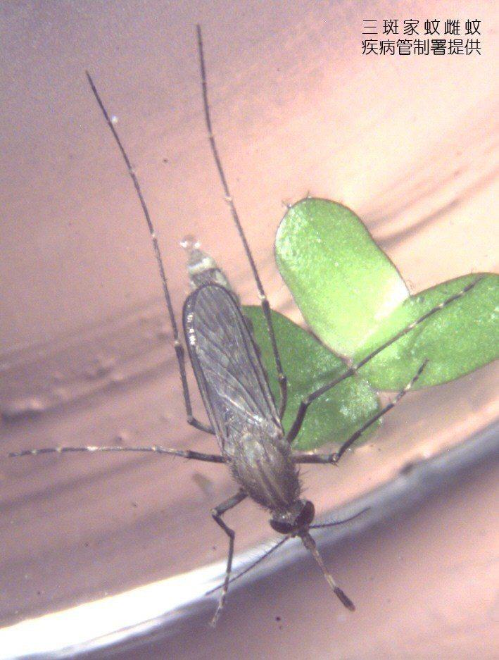 三斑家蚊是傳染日本腦炎的病媒蚊之一,民眾應避免在黎明和黃昏時,在豬舍、動物畜舍或...