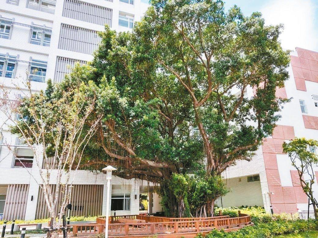 樹林藝文綜合大樓工程,配合原有的4棵老樹變更設計,讓老樹和建築共存。 圖/新北市...