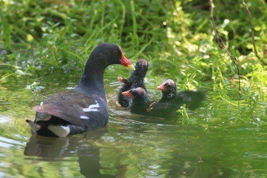 紅冠水雞母鳥帶雛鳥可愛身影。 國父紀念館/提供
