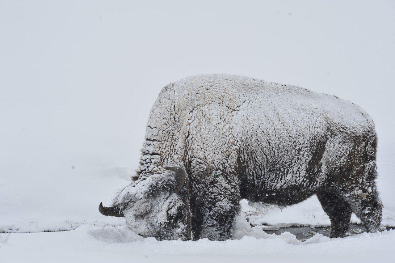 美洲野牛頂著落雪,在積雪深處挖掘,尋找可食的草,像不像灑了糖霜的糕點?(圖/摘取...