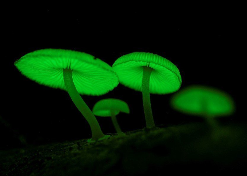 台灣入梅後,屏東墾丁社頂自然公園罕見的螢光蕈也活躍起來,平時灰白色,雨後午夜發出...