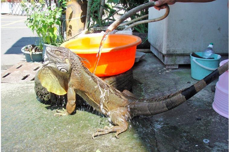 綠鬣蜥來自寵物市場,被形容是「吃素的酷斯拉」本身繁殖能力強,因民眾棄養,成為生態...